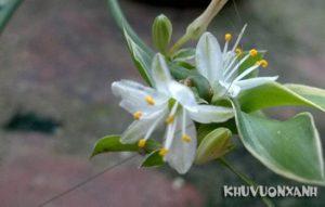 Cây dây nhện ra hoa
