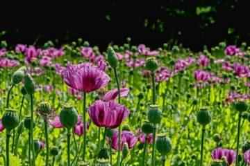 Cây Hoa Anh Túc – Hoa Thuốc Phiện, Hoa Lệ Xuân…