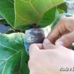 Cách nhân giống cây bàng Singapore
