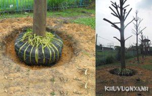 Kỹ thuật trồng và chăm sóc cây bàng Đài Loan