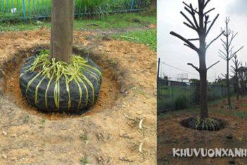 Kỹ thuật trồng và chăm sóc cây bàng Đài Loan đúng cách