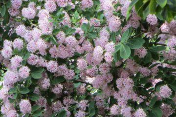 Cây Dais cotinifolia – PomPom Tree