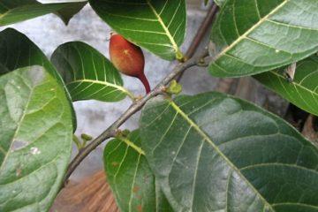 5 loài cây gây chết người nhanh nhất trên thế giới