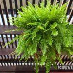 Tác dụng của cây dương xỉ