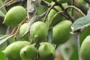 Cây Cà Na Thái – Cách trồng và chăm sóc