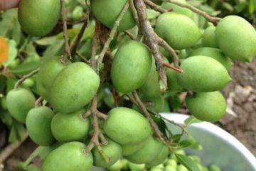 Cây Cà Na – Cây Trám Trắng, Bạch Lãm, Cảm Lãnh…
