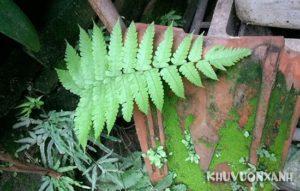 Ý nghĩa cây dương xỉ khi trồng làm cảnh trong nhà