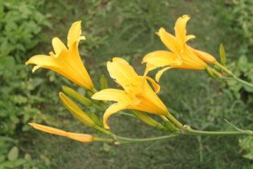 Cây Hoa Hiên – Kim Trâm, Huyên Thảo, Hoàng Hoa…