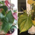 Tại sao cây hồng môn bị vàng lá, héo lá, cháy lá