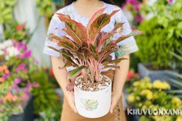 Cây phú quý có độc không? Có nên trồng cây phú quý trong nhà
