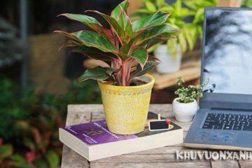 Cách trồng và cách chăm sóc cây phú quý trong đất đúng cách