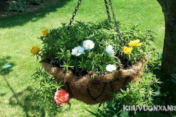 Các kiểu trồng hoa mười giờ, trồng đất, trồng nước, trồng bonsai