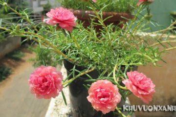 Hoa mười giờ có mấy màu và các loại hoa 10 giờ bạn nên biết