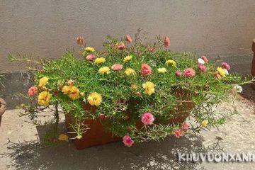Có nên trồng hoa mười giờ trước nhà hay không?